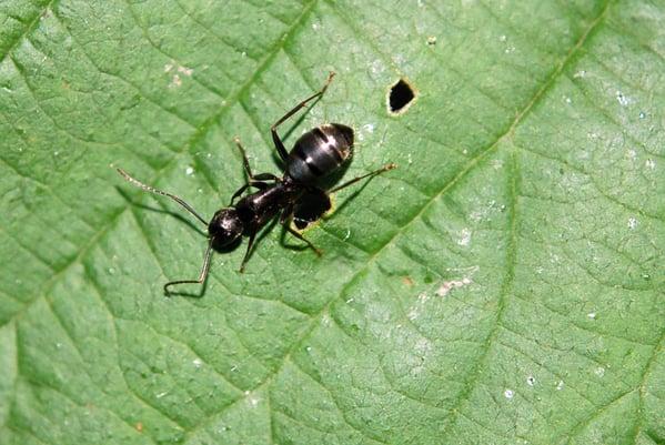 DPC-5355276-argentine-ant