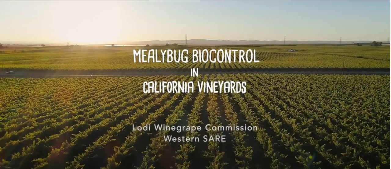 Vine Mealybug Biocontrol in California Vineyards