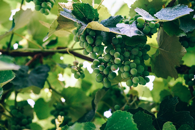 Green grapes growing on a vine.