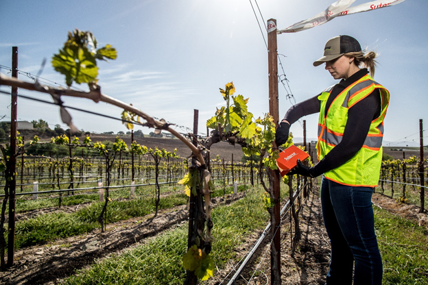 Suterra PCA Aly Pulford checks vine mealybug traps in a California vineyard